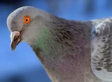 Исследование: голуби способн…