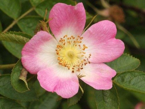 Шиповник ржаво-красный (Rosa rubiginosa)
