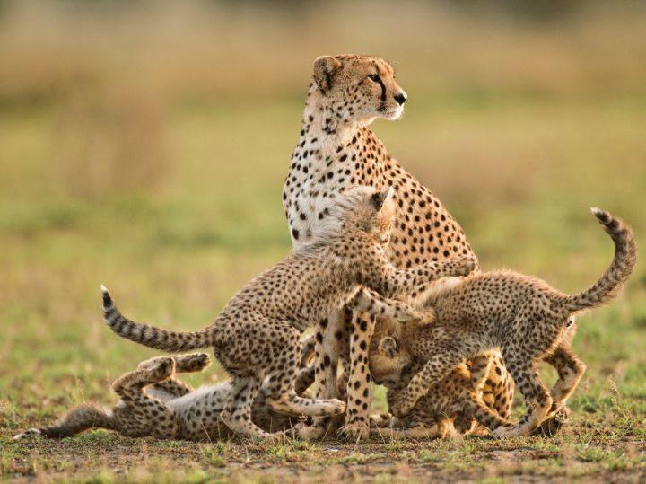 1. Азиатский гепард кошки, природа