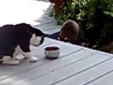 Енот объедает кота.