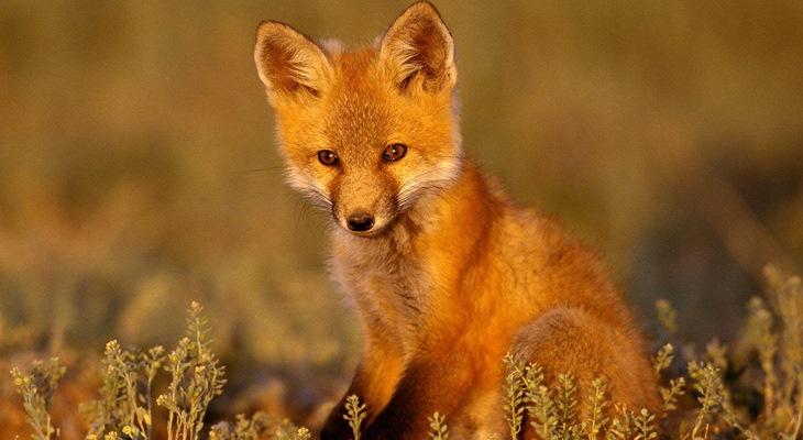 Волонтёры Приморья организовали «Деревню для лис»