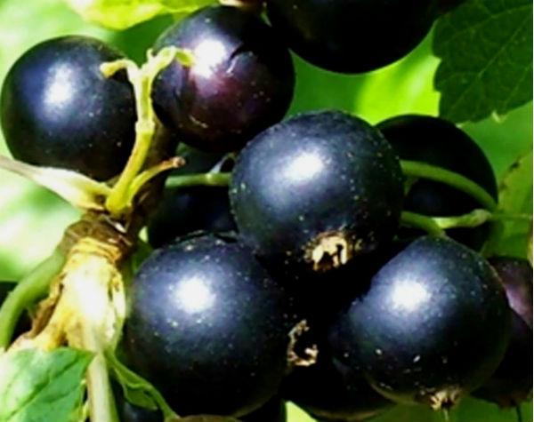 Смородина черная: важные мелочи