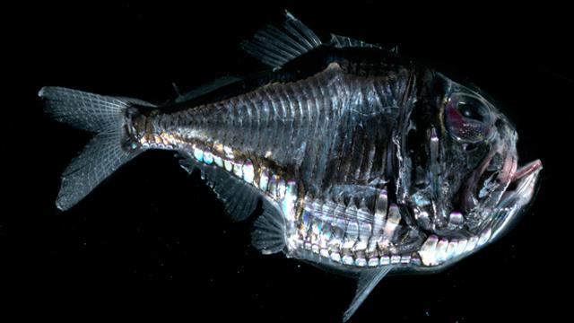 20. Рыба-топорик (Marine hatchetfish) животные, факты
