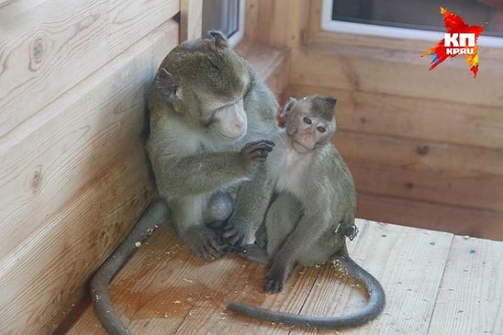 В Барнаульском зоопарке поженили макак Васю и Масю