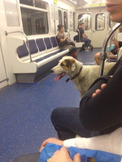 В Петербурге собака ездит на общественном транспорте в поисках хозяина