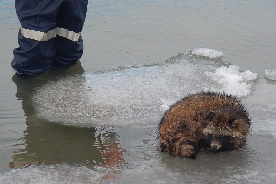 Спасение енота с льдины