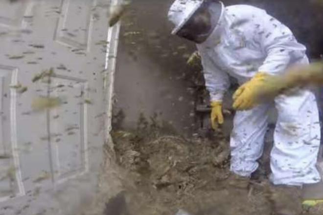Пчеловод решил уничтожить огромное гнездо шершней. Эпическое сражение длилось полтора часа