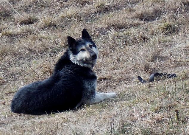 В Кузбассе пес три месяца сторожил могилу своей хозяйки верность, жизнь, пес