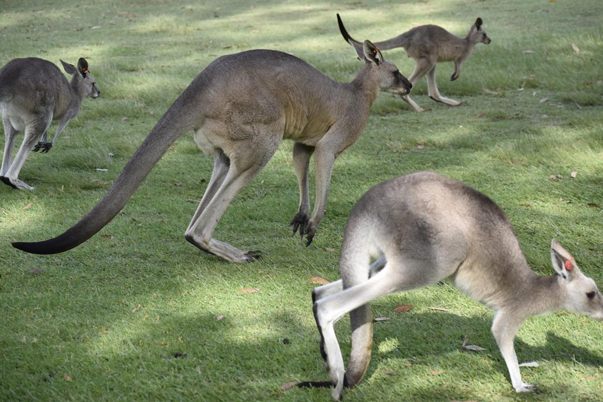 Когда на планете появились первые кенгуру