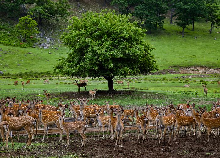 Как Приморьеснова заселяют пятнистыми оленями, которых почти полностью истребили браконьеры. Удивительные снимки! Дальний Восток, Приморский край, Пятнистый олень, Фотография, Животные, Красота, Природа, Длиннопост