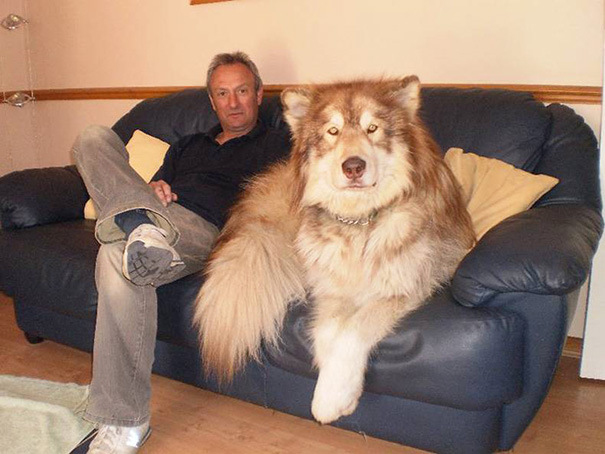 Невероятно большие собаки