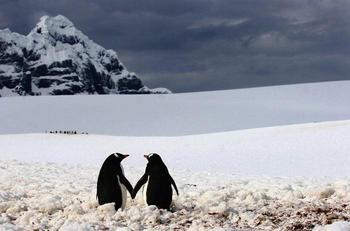 Пингвины гуляют друг с другом.