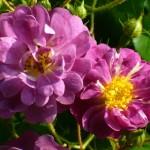 """Роза """"Veilchenblau"""""""