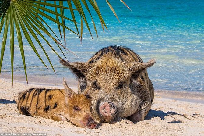 Счастливая жизнь веселых хрюшек... на Багамах!
