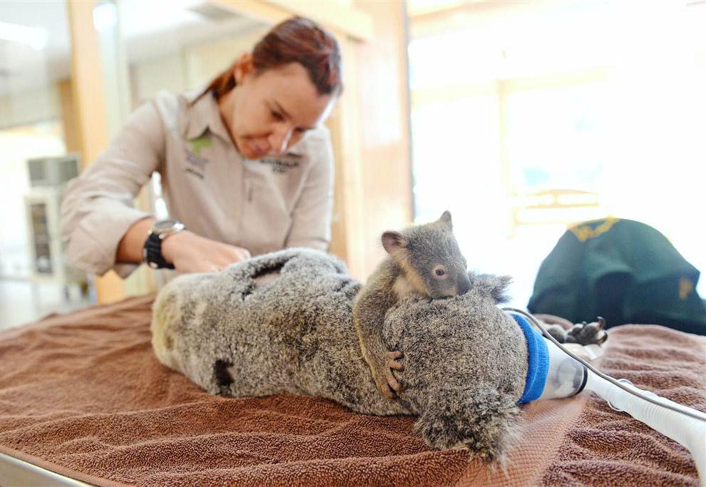 Коале делают операцию в австралийском зоопарке