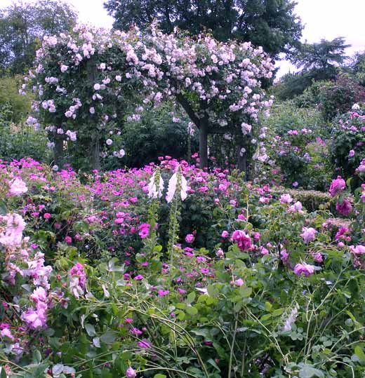 плетистая роза уход