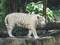 Белые тигры 16