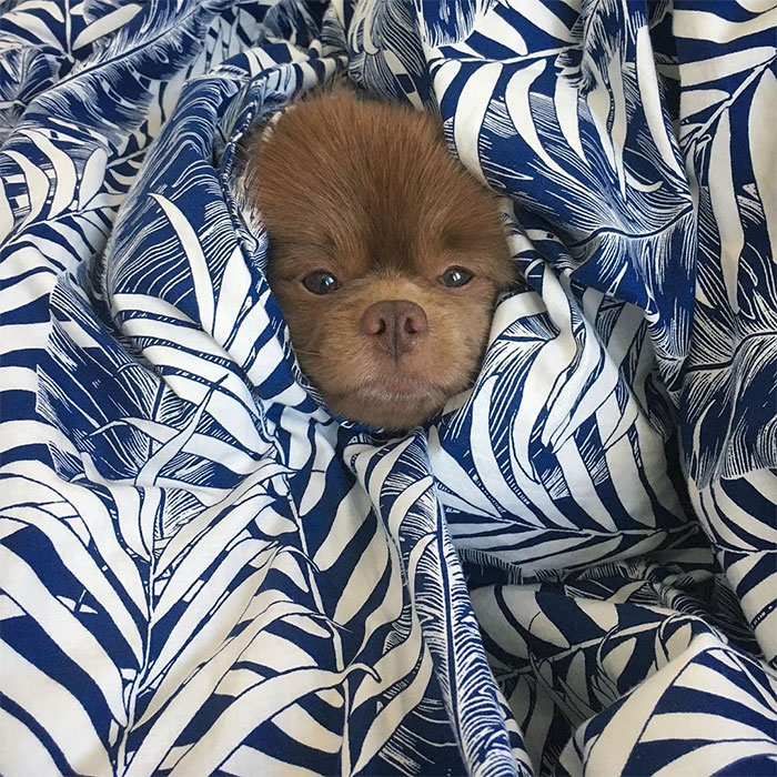 dog-cute-bertram-the-pomeranian-bertiebertthepom-3