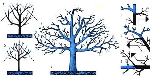 Омоложение плодовых деревьев Сад обычно сохраняет хорошее плодоношение до 30 лет.