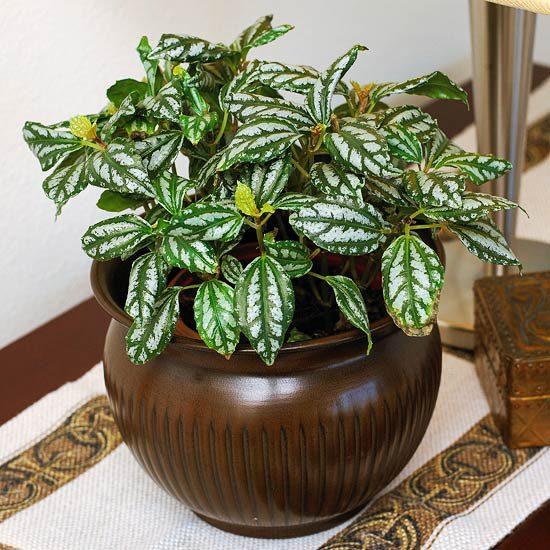 Для ленивых хозяек: неприхотливые растения с красивыми листьями