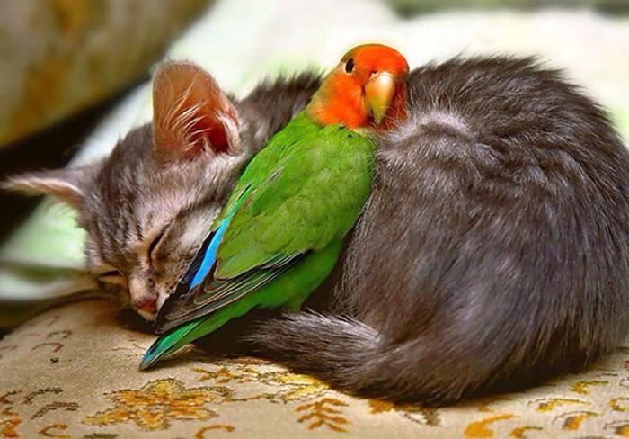 Попугай и кошка.