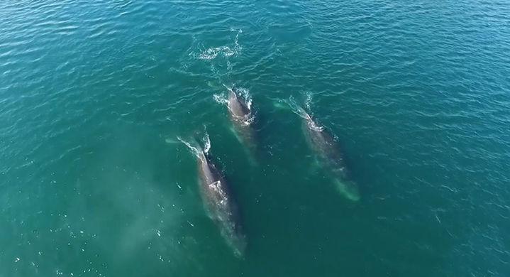 Сделана съемка, как горбатые киты создают радугу