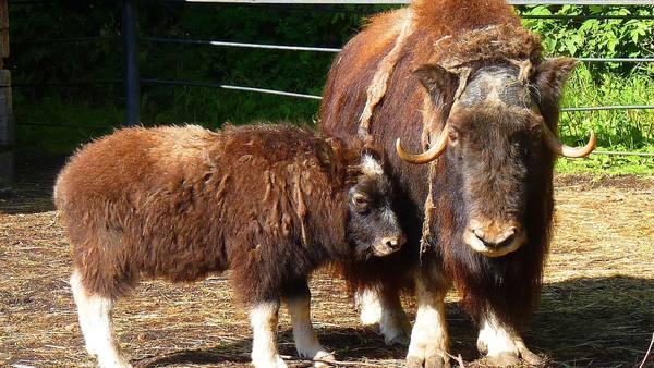 Теленок из Большереченского зоопарка нашаманил себе имя