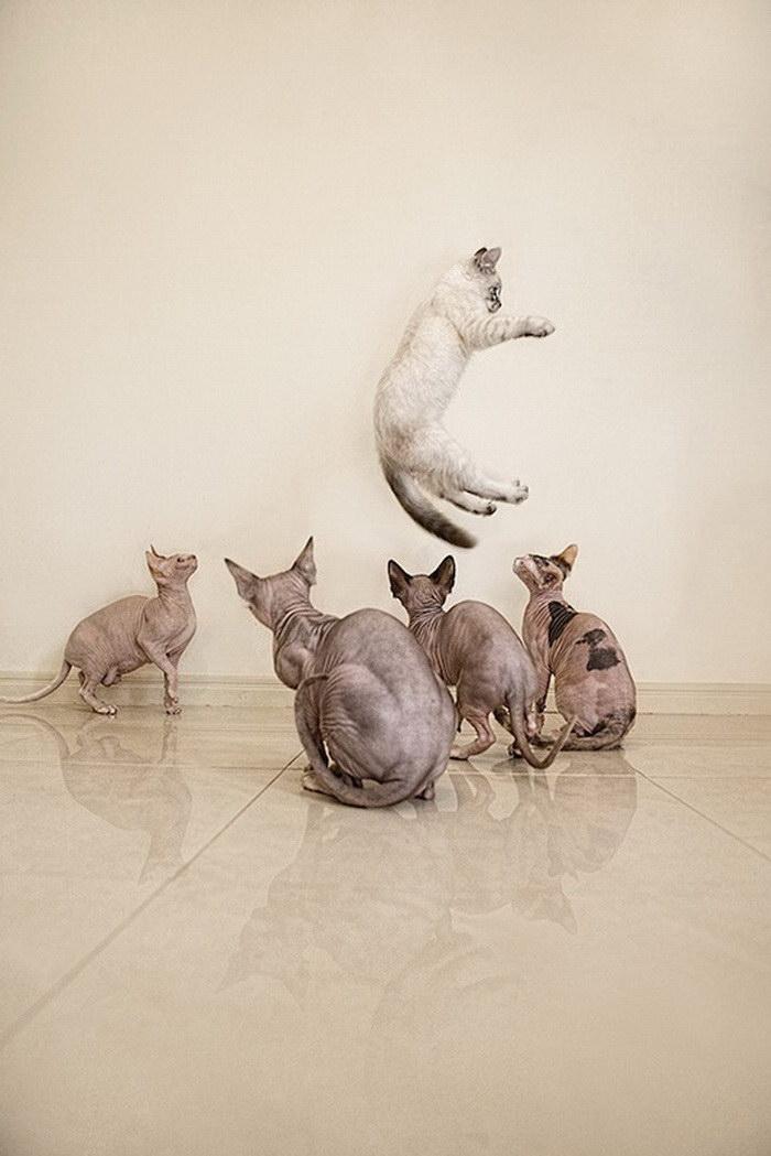 Чудесные кошки-сфинксы на фотографиях Серены Ходсон