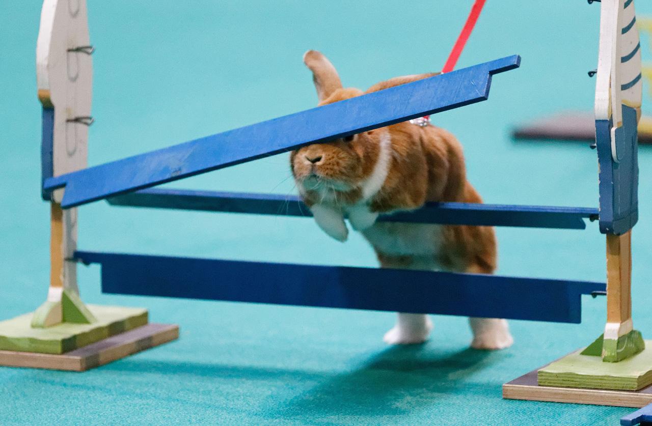 Соревнования по прыжкам в высоту среди кроликов