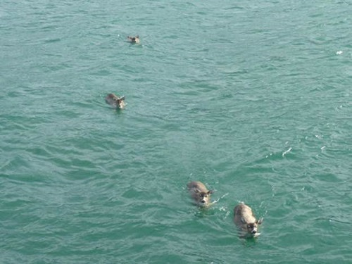 Мужчина выплыл на своей лодке в море и увидел плавающих оленей