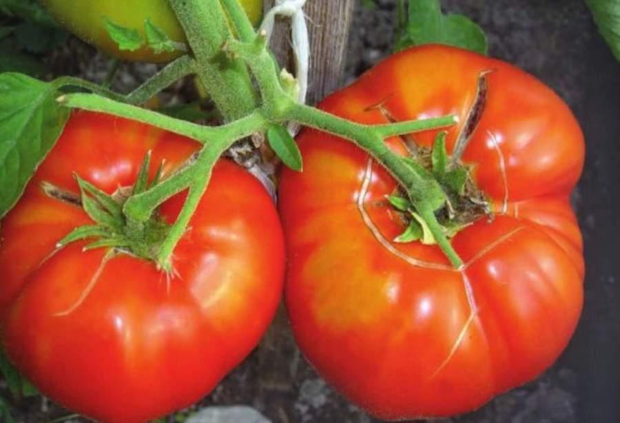 Подкормка помидоров.