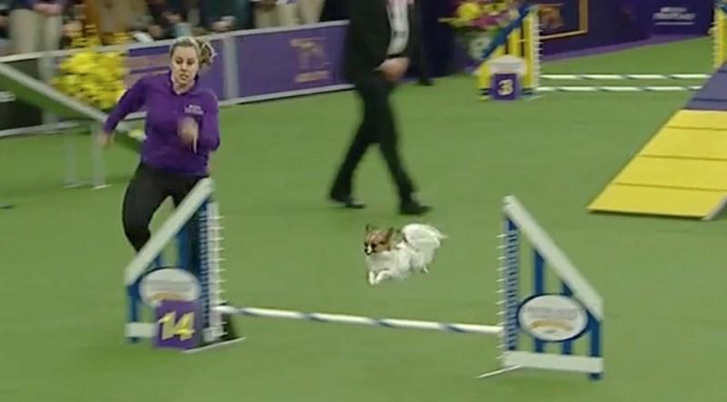 Маленькая собачка поразила зрителей своей скоростью