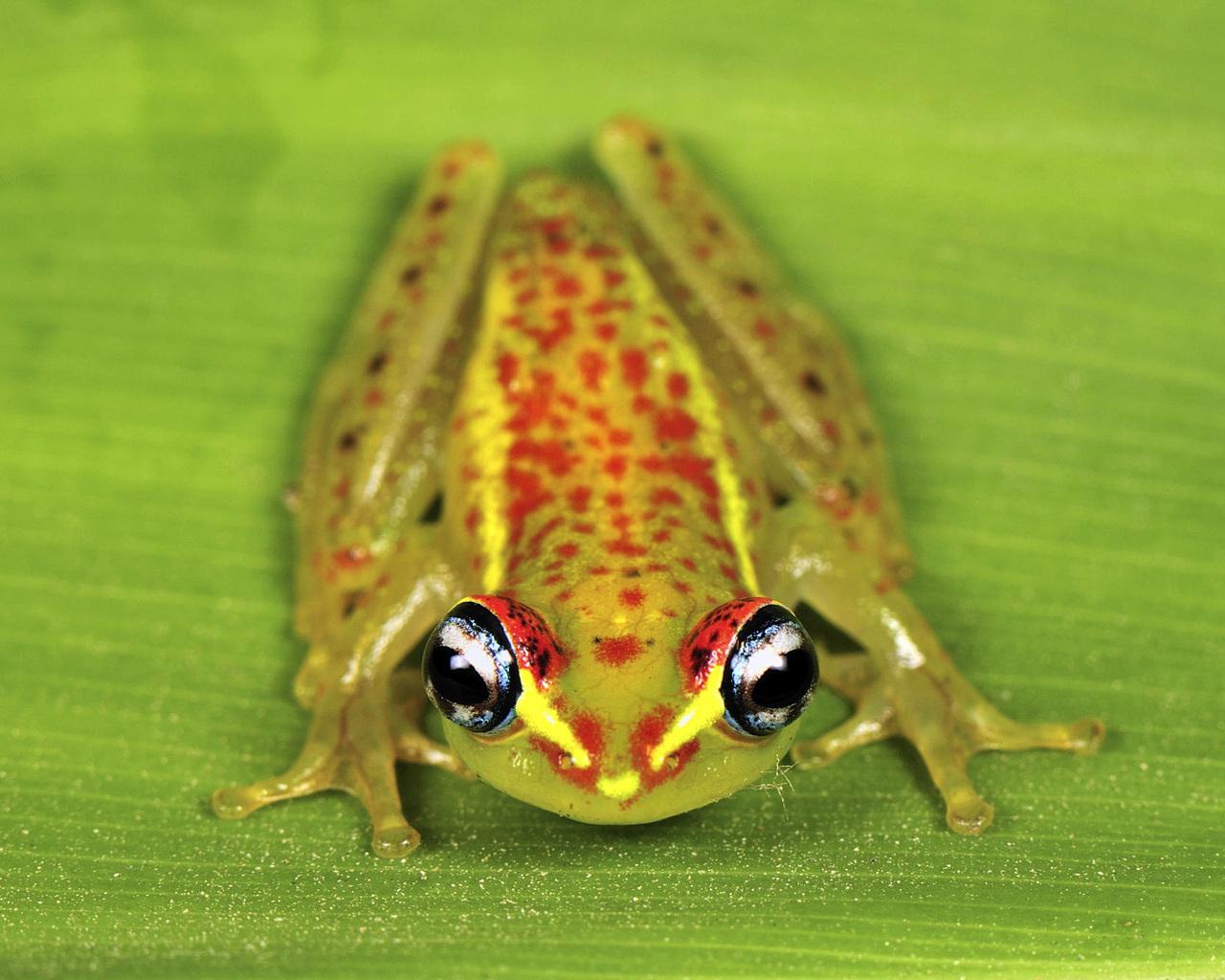 На Мадагаскаре нашли необычный вид лягушек