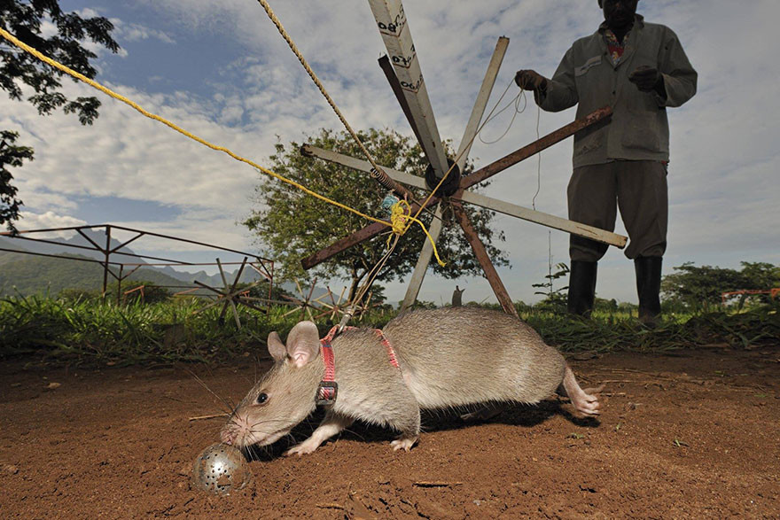 Крысы-бомбоискатели — сотрудники бельгийской службы африка, крысы, мины