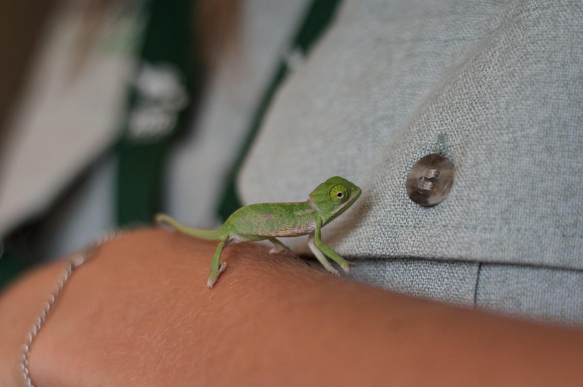 chameleon 02 Крохи хамелеоны — это новые котики