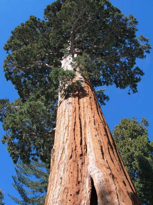 1043 10 высочайших деревьев планеты