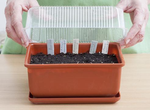 бархатцы, выращивание рассады, защита посевов от пересыхания