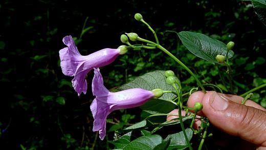 Ипомея (Ipomoea batatoides)