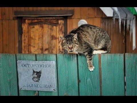 Сторожевой кот. С нашим Степаном нам собака не нужна.