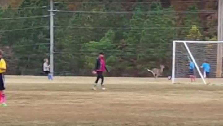 Олень выскочил на футбольное поле и забил гол. Видео