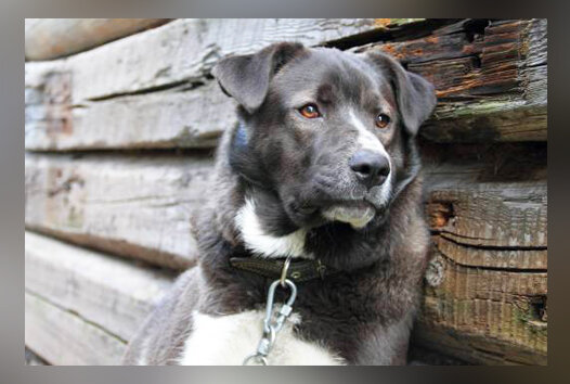 Собака, охранявшая дом, не могла наброситься на незваного гостя, но ей удалось отогнать его весьма оригинальным образом