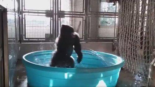 Горилла, принимающая ванну, стала звездой танца