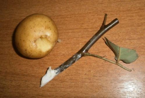 Как черенковать розы из букета в домашних условиях в картошке