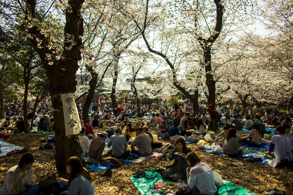 традиция любования цветущей сакурой-18