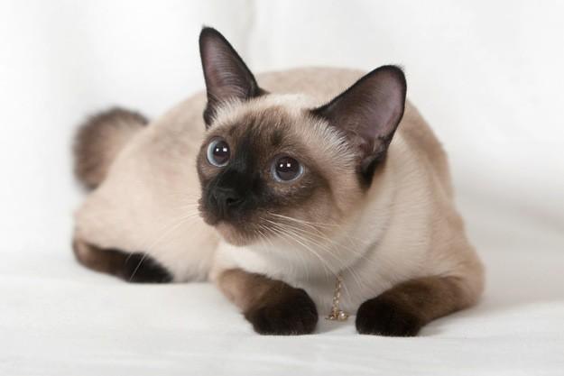 6. Сиамская кошка животные, коты