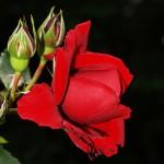 "Роза ""Sympathie"""