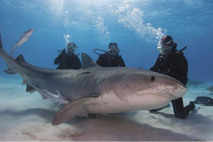 «Друг акул» — необычная жизнь Джима Абернети акула, дружба