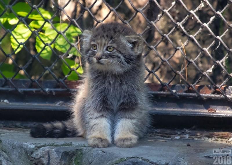 В Новосибирском зоопарке показали котят манулов, рожденных этой весной