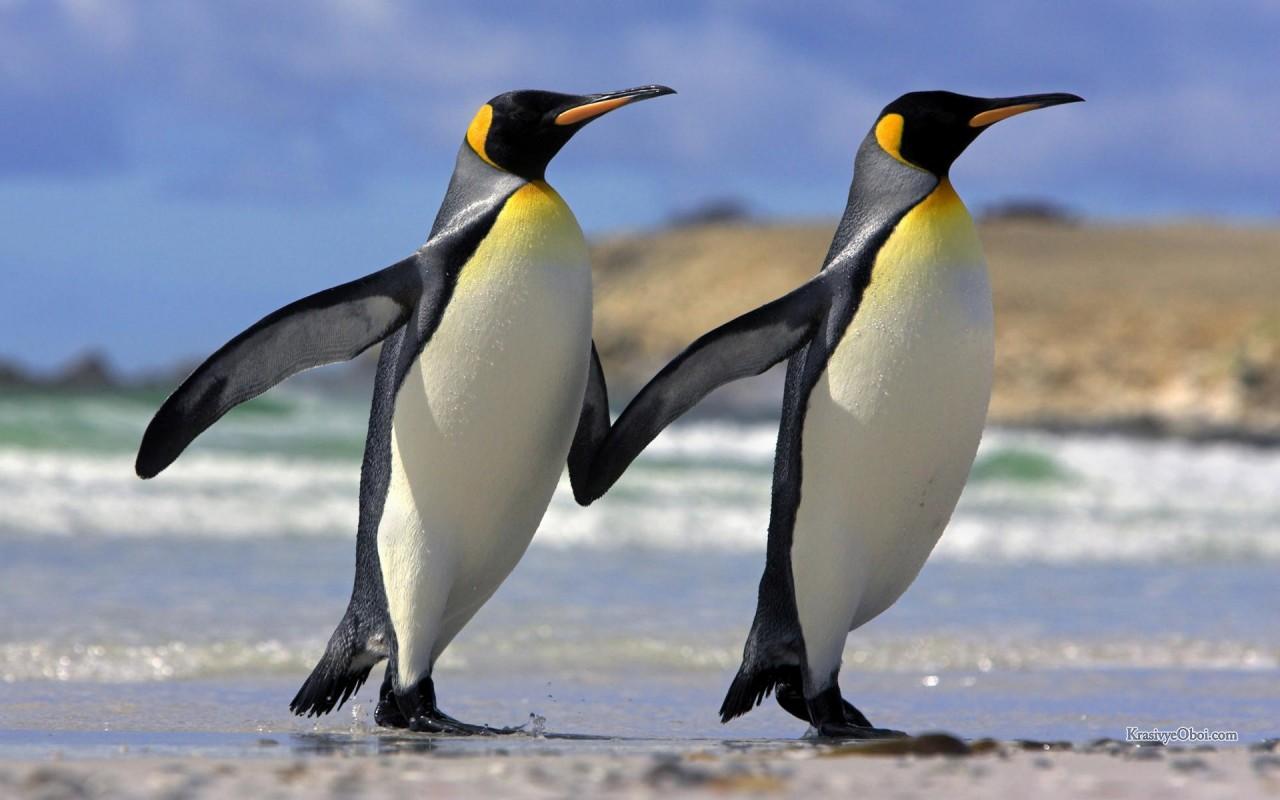 Интимные подробности жизни пингвинов