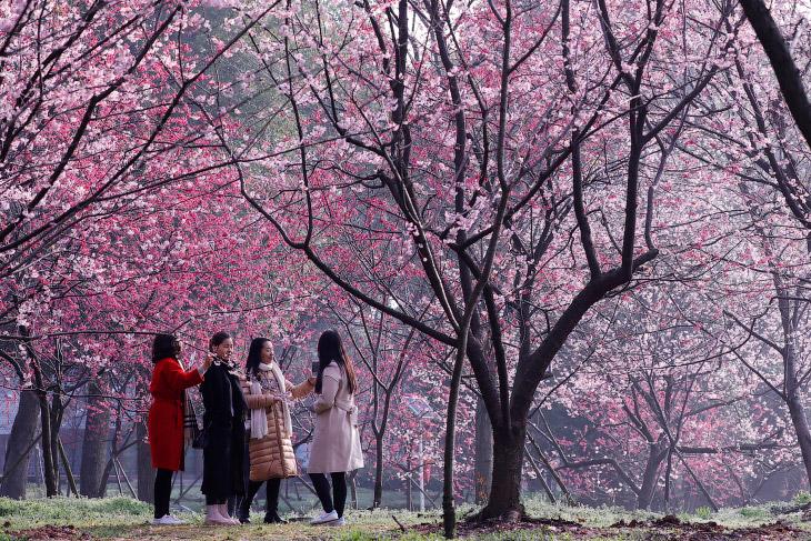 Цветение сакуры в национальном парке Синдзюку Гёэн в Токио